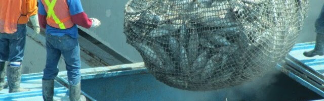 Extracting Tuna Fish Manta